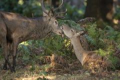 Piękny serdeczny przyjaciel oferty moment między czerwonego rogacza jeleniem i łanią Zdjęcia Stock