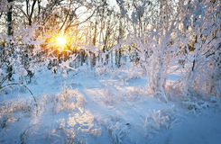 Piękny zima krajobraz przy zmierzchem z drzewami w śniegu i słońcu Fotografia Stock