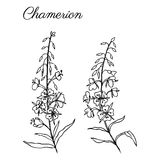 Pilörten, den Chamerion angustifoliumen, mjölkörten, dragit färgpulver för oleander handen skissar den botaniska illustrationen,  stock illustrationer