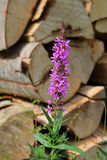 Pil-ört för blomningväxt Royaltyfri Foto