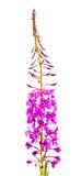 Pil-ört (Ivan-te) royaltyfri fotografi