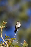 pil för empidonaxflycatchertraillii fotografering för bildbyråer