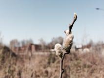 Pil i blomning Arkivfoto