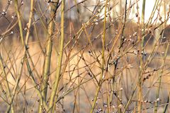 Pil träd, buske, buske, vår, solig dag, svullen knopp fotografering för bildbyråer