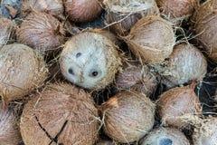 Pila de cocos marrones melenudos Fotos de archivo libres de regalías