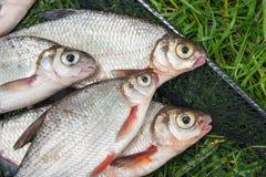 Pila de la brema blanca o de los pescados de plata y de la brema del blanco-ojo con Fotografía de archivo libre de regalías
