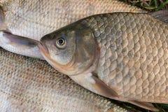 Pila de los pescados comunes de la brema, pescado crucian, pescados de la cucaracha, f triste Fotos de archivo libres de regalías