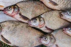 Pila de los pescados comunes de la brema, pescado crucian, pescados de la cucaracha, f triste Imagen de archivo libre de regalías