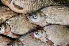 Pila de los pescados comunes de la brema, pescado crucian, pescados de la cucaracha, f triste Imagen de archivo