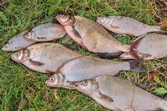 Pila de los pescados comunes de la brema, pescado crucian, pescados de la cucaracha, f triste Fotografía de archivo libre de regalías