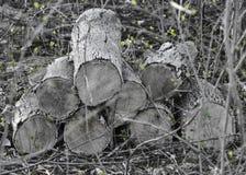 Pila de madera vieja con nuevo crecimiento Fotografía de archivo