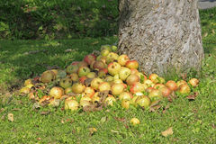 Pila de manzanas caidas Fotos de archivo libres de regalías