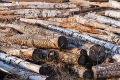 Pila de registros o de leña del abedul en el bosque Fotos de archivo libres de regalías