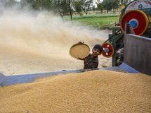 Pila de trigo y de trigo de la cosecha Fotos de archivo libres de regalías