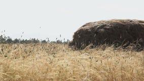 Pila del heno en un campo almacen de metraje de vídeo