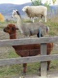 Pila del lama dell'alpaga delle pecore Fotografie Stock