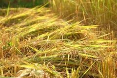 Pila del riso dell'oro Immagine Stock