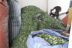 Pila grande de Coca Leaves que espera para ser puesto en sacos grandes y para ser cargado en Coca Leaves Depot Fotos de archivo libres de regalías
