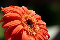 Pila macra del Gerbera anaranjado Fotografía de archivo
