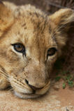 Pilanesberg国家公园 免版税库存图片
