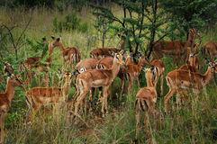 Pilanesberg Nationaal Park Stock Afbeelding