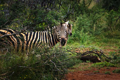 Pilanesberg National Park Stock Images