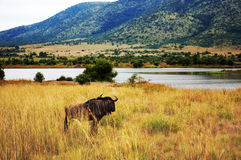 Pilanesberg National Park Royalty Free Stock Images