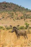 Pilanesberg Zebra Stock Images