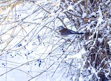 Pilaris del Turdus de la tordella Pájaros en invierno El pájaro se encaramó en una rama de árbol con un fondo nevoso Fondo del in Fotos de archivo libres de regalías