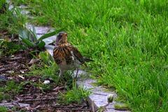 Pilaris Turdus рябинника в траве 3 Стоковое Фото