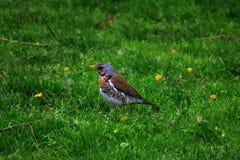 Pilaris Turdus рябинника в траве 2 Стоковое Фото