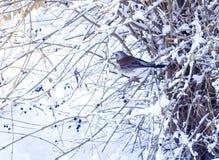 Pilaris Turdus рябинника Птицы в зиме Птица садилась на насест на ветви дерева с снежной предпосылкой зима белизны снежинок предп Стоковые Фотографии RF