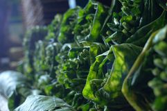 Pilas de hojas maduras del tabaco imagen de archivo libre de regalías