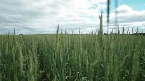 Pilas inmaduras del trigo, campo de trigo verde, sceno a la escena almacen de metraje de vídeo