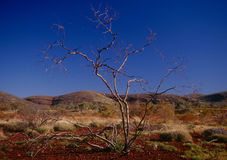 The Pilbara region of Western Australia. A tree manages to grow in the desolate, but beautiful landscape of The Pilbara, Western Australia Royalty Free Stock Photo
