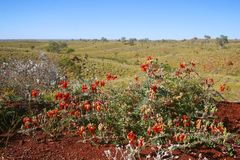 Pilbara wildflowers. Sturt's desert peas stand out against the spinifex Stock Photo
