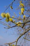 Pilbuske med fullt utvecklade manliga pollen arkivfoton