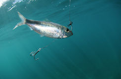 Pilchard fish bait on hook Royalty Free Stock Image