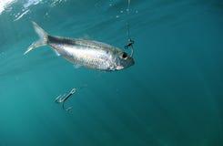 Pilchard fish bait on hook. In Atlantic Ocean royalty free stock image