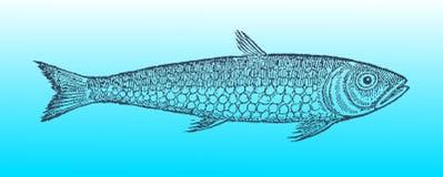 Pilchard lub sardynka w profilowym widoku na niebieskozielonym gradientowym tle &-x28; po dziejowego lub rocznika woodcu Zdjęcia Stock