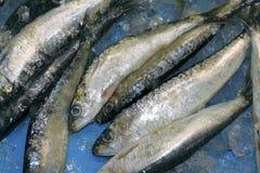 Pilchard sardine seafood fish catch blue ice Royalty Free Stock Photo