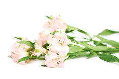 Pile of alstroemeria flowers Stock Photography