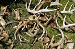 Pile of antlers Stock Photography