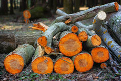 Pile of aspen logs in the spring wood in the sunse. Pile of orange aspen logs in the spring wood in the sunset stock image
