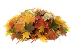 Pile of autumn colored leaves isolated on white background.A heap of different maple dry leaf . stock images