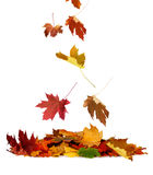 Pile of autumn colored leaves isolated on white background. royalty free stock images