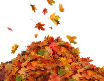 Pile of autumn colored leaves isolated on white background. Stock Photos