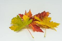 Pile of autumn colored leaves isolated on white background. Yellow Red and colorful foliage colors in the fall season Royalty Free Stock Images