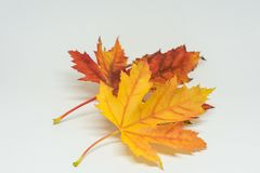 Pile of autumn colored leaves isolated on white background. Yellow Red and colorful foliage colors in the fall season royalty free stock image