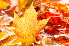 Pile of autumn leaves Stock Image